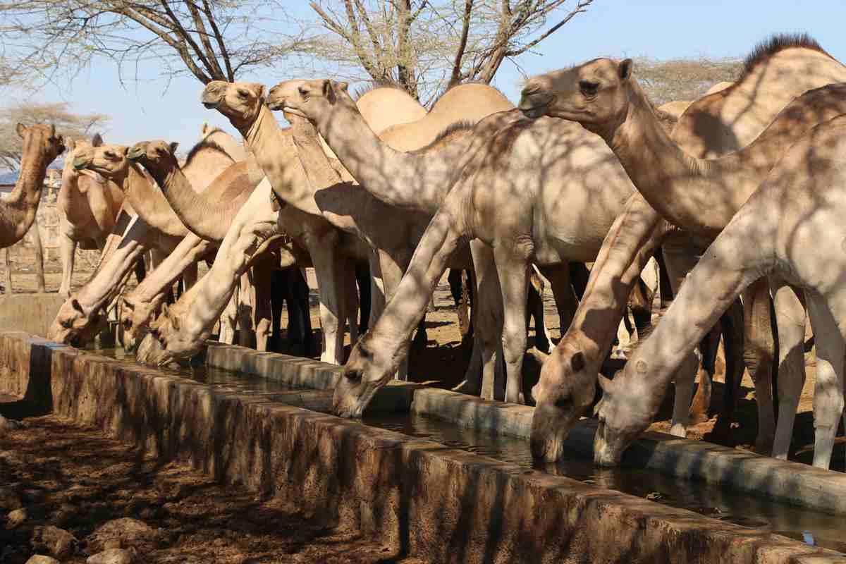 Camels at the rehabilitated Yamicha strategic borehole